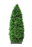 Cypress - Cupressus Sempervirens 15ml