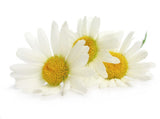Roman Chamomile - Anthemis Nobilis (5ml or 15ml)