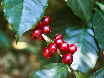 Coffee cherries growing in El Salvador