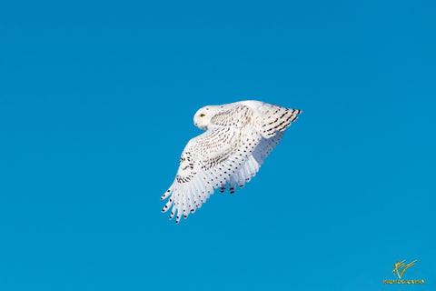 Snowy Owl In Flight Searching For Prety