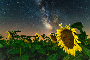 Sunflowers and the Milky Way Galaxy at night in Caryville, Wisconsin.