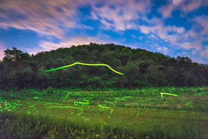 Fire flies at night in a field near Elmwood, Wisconsin.