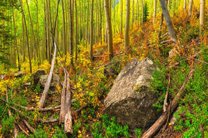 Fall colors in an aspen stand at Maroon Bells in Aspen, Colorado.