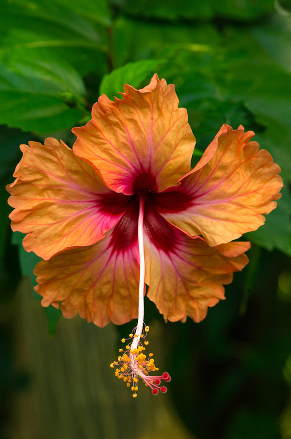 Hibiscus flower in full bloom at Little Corn Island, Nicaragua.