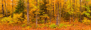 Panorama view of a forest in autumn in Upper Michigan.