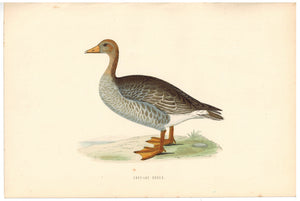 Grey-Lag Goose Bird Morris 1870 Antique Hand Color Print