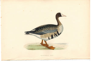 White-Fronted Goose Bird Morris 1870 Antique Hand Color Print