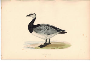 Bernicle Goose Bird Morris 1870 Antique Hand Color Print