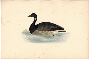 Brent Goose Bird Morris 1870 Antique Hand Color Print
