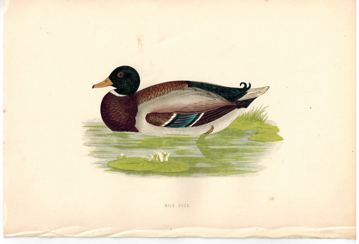 Wild Duck 1870 Morris Antique Hand Color Bird Print