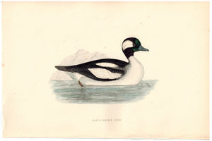 Buffel-Headed Duck 1870 Morris Antique Hand Color Bird Print