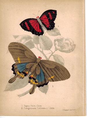 Butterflies Paris Peacock and Catagramma c.1857 Hand Color Insect Print