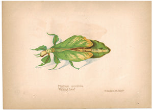 Phyllium Siccifolia Walking Leaf 1857 Hand Color Insect Print