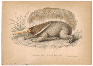 Great AntEater (Anteater) of South America 1857 Hand Color Print