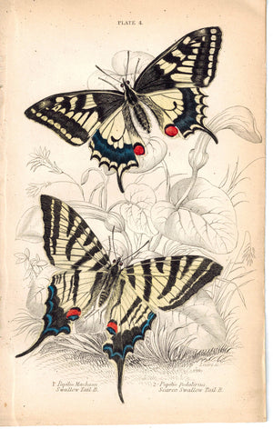 Swallow-Tail Butterflies 1835 Hand Colored Jardine Duncan Butterfly Print