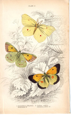 Brimstone Clouded Yellow Butterfly 1835 Hand Colored Jardine Duncan Print