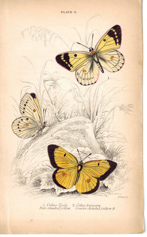 Pale Scarce Clouded Yellow Butterfly 1835 Hand Colored Jardine Duncan Print