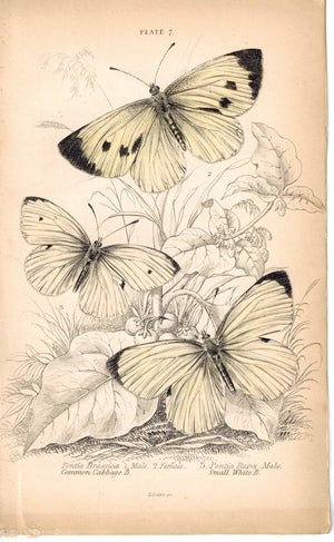Common Cabbage Butterfly Genus Pontia 1835 Hand Colored Jardine Duncan Print