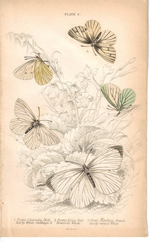 Early White Cabbage Butterfly Pontia 1835 Hand Colored Jardine Duncan Print