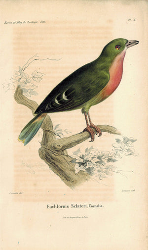 Euchlornis Sclateri Cornalia Antique Bird Print 1853