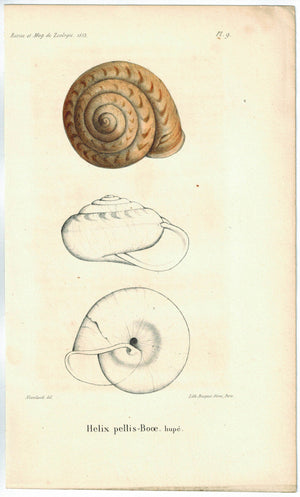 Helix Pellis Booe Sea Shell Antique Print 1853