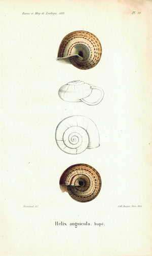 Helix Anguicula Sea Shell Antique Print 1853