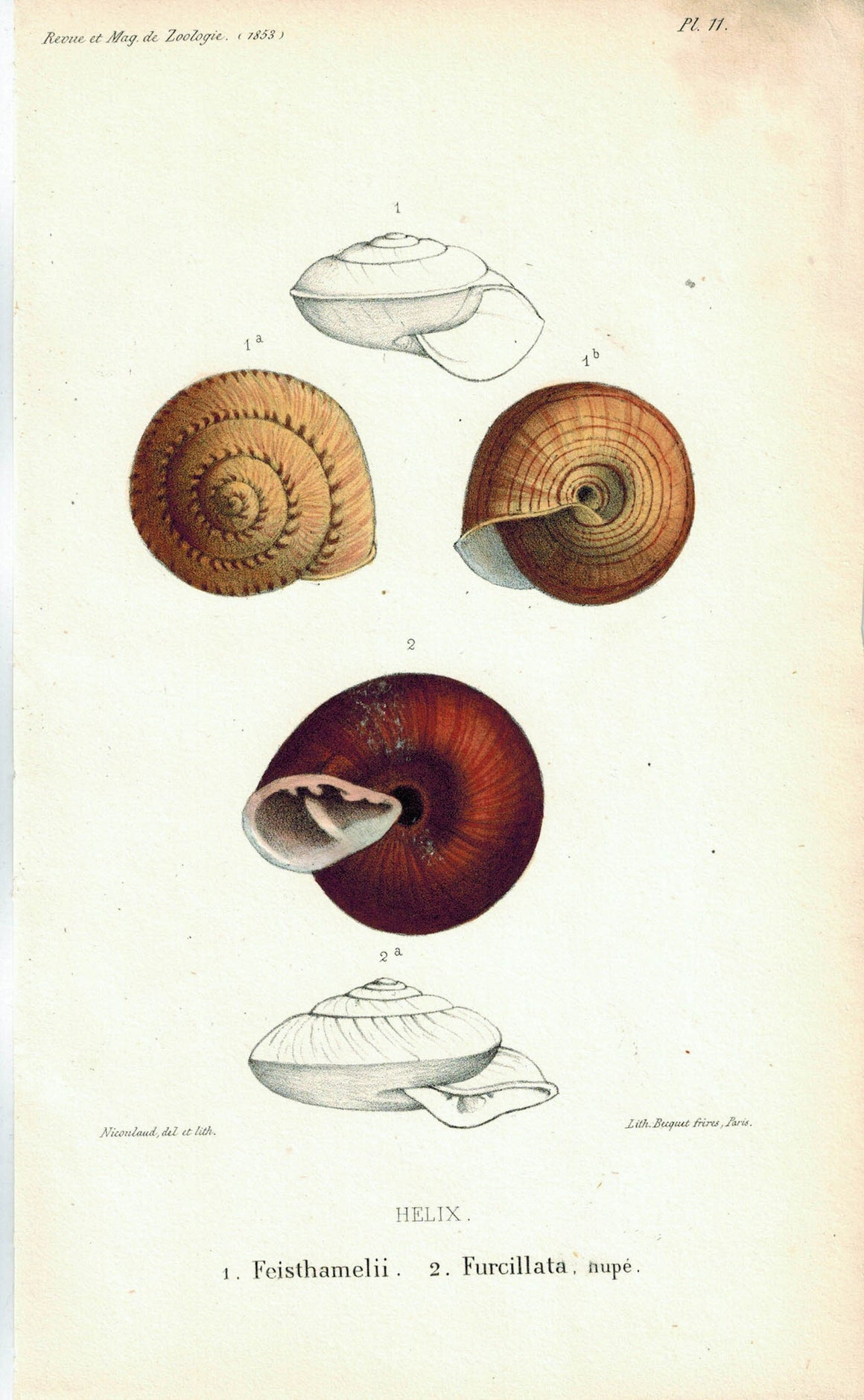 Helix Feisthamelii Furcillata Sea Shell Antique Print 1853