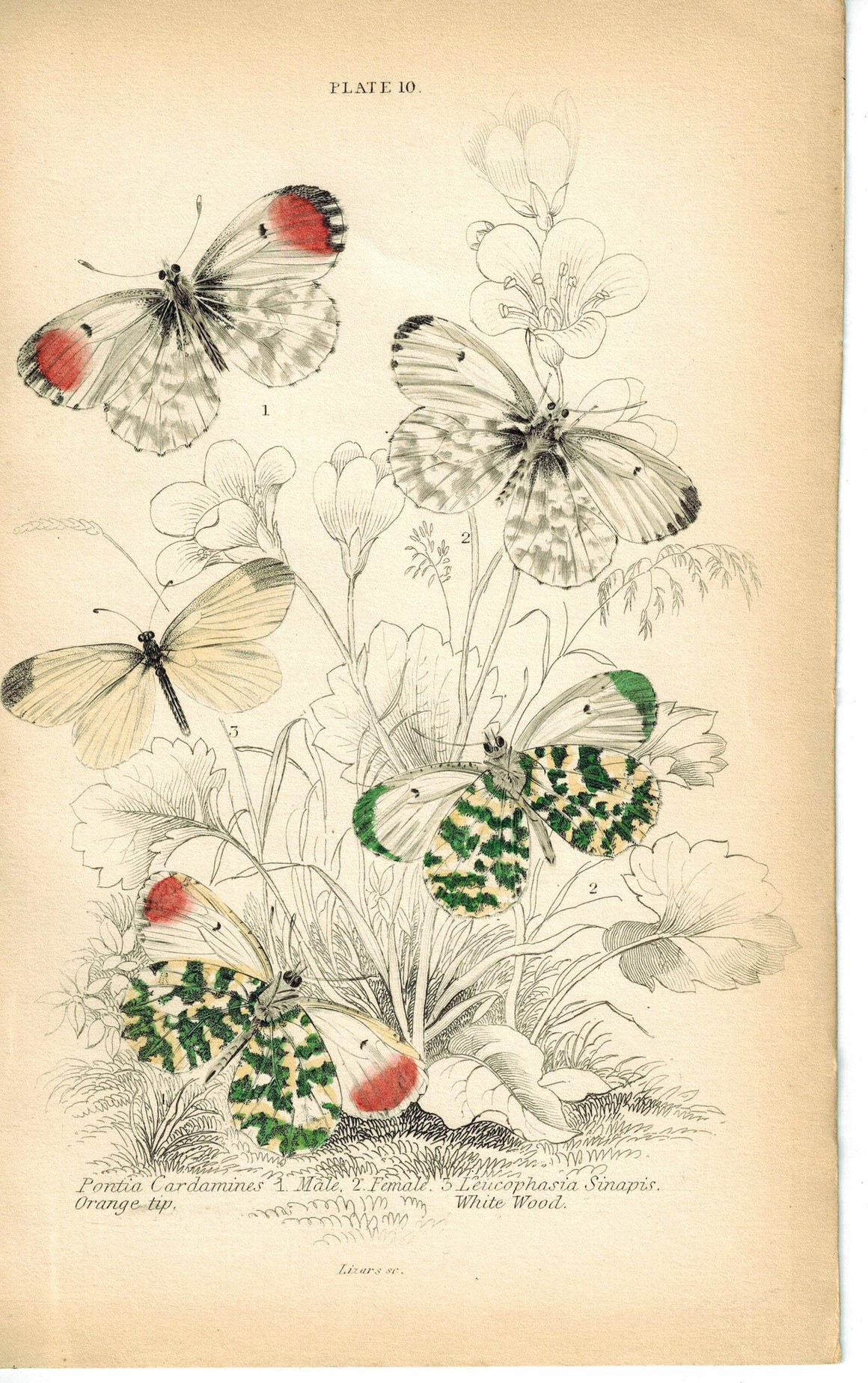 Orange-tip & Wood White Butterfly 1835 Hand Colored Jardine Duncan Print