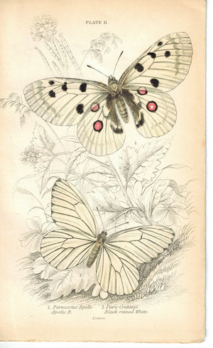 Black-veined White & Apollo Butterfly 1835 Hand Colored Jardine Duncan Print