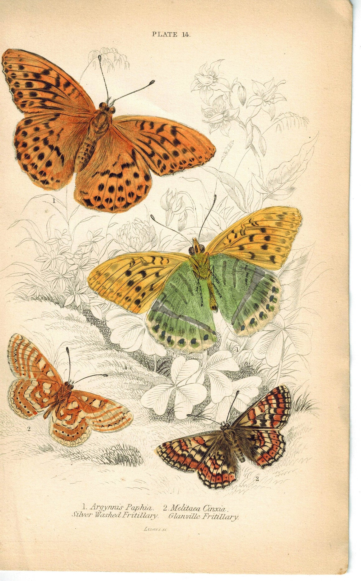 Silver Washed & Glanville Fritillary Butterfly 1835 Antique Jardine Duncan Print