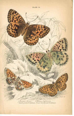 Small Pearl-bordered Dark Green Fritillary Butterfly 1835 Antique Jardine Print
