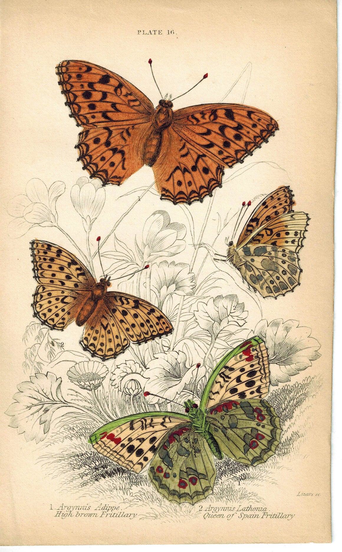High Brown & Queen of Spain Fritillary Butterfly 1835 Antique Jardine Print