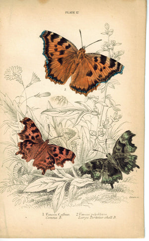 Large Great Tortoise-Shell Butterfly 1835 Hand Colored Jardine Duncan Print