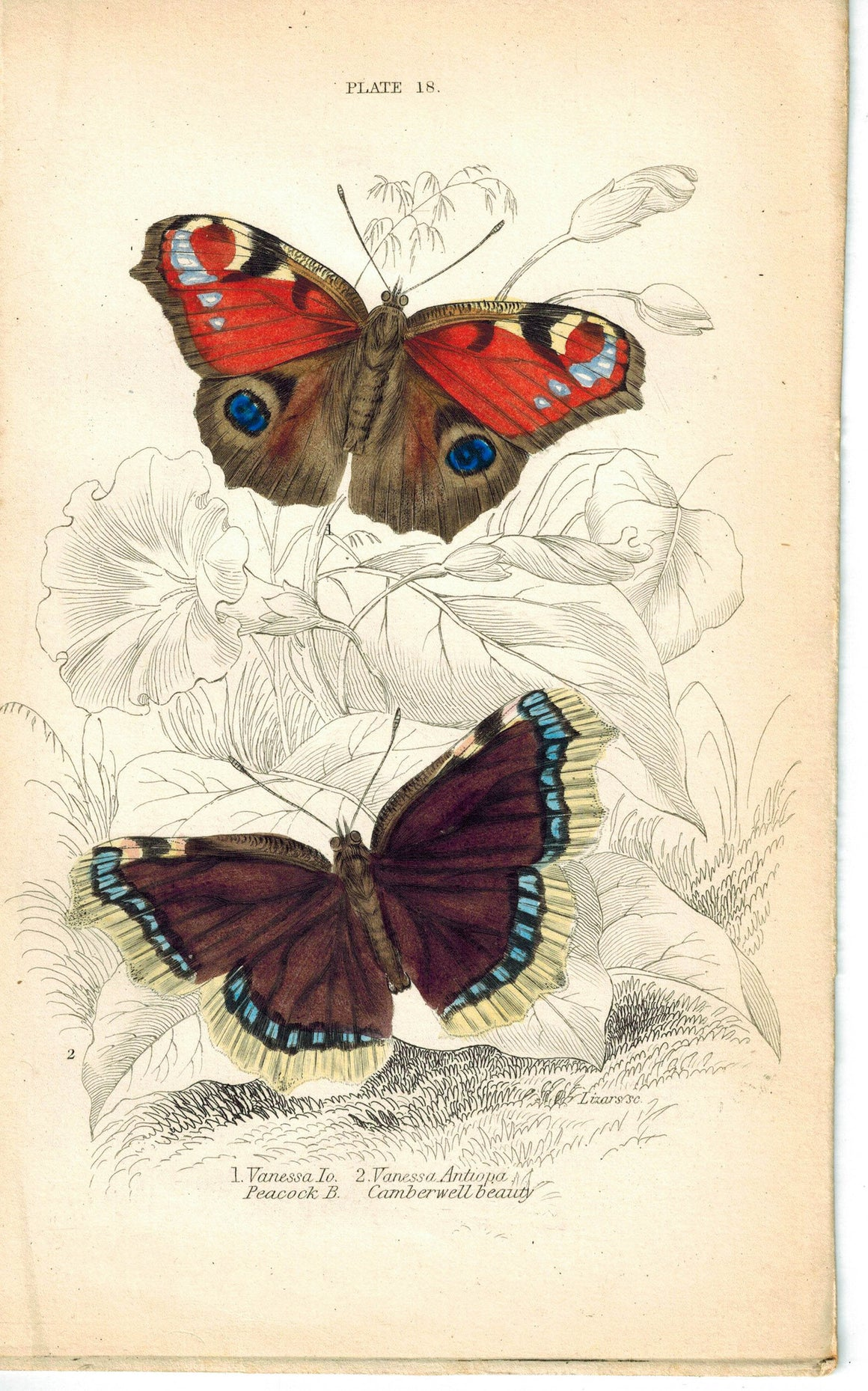 Peacock's Eye & Camberwell Beauty Butterfly 1835 Antique Jardine Duncan Print