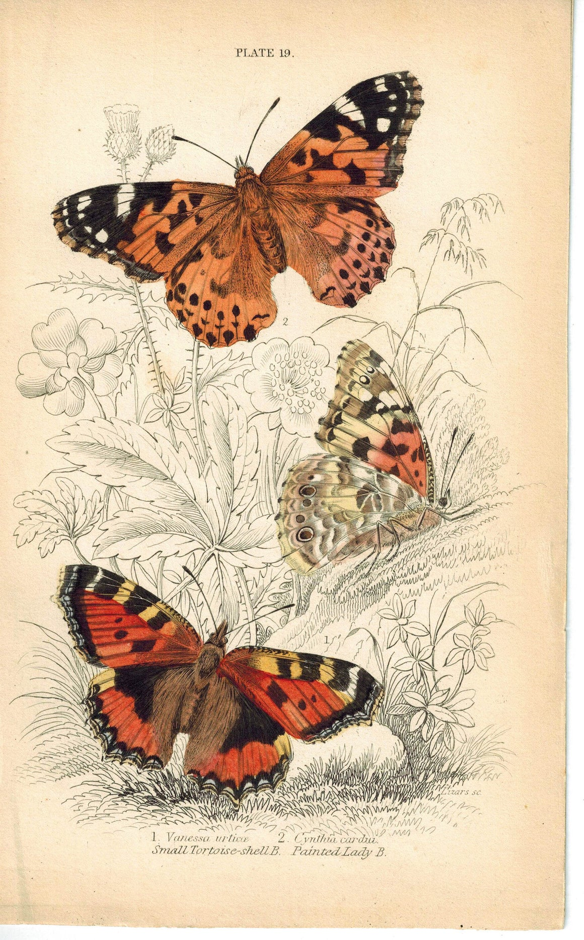 Small Tortoise-Shell & Painted Lady Butterfly 1835 Antique Jardine Duncan Print