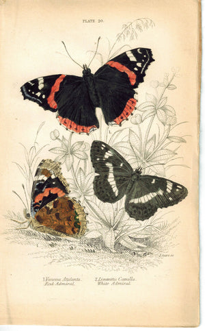 Red and White Admiral Butterfly 1835 Antique Hand Colored Jardine Duncan Print