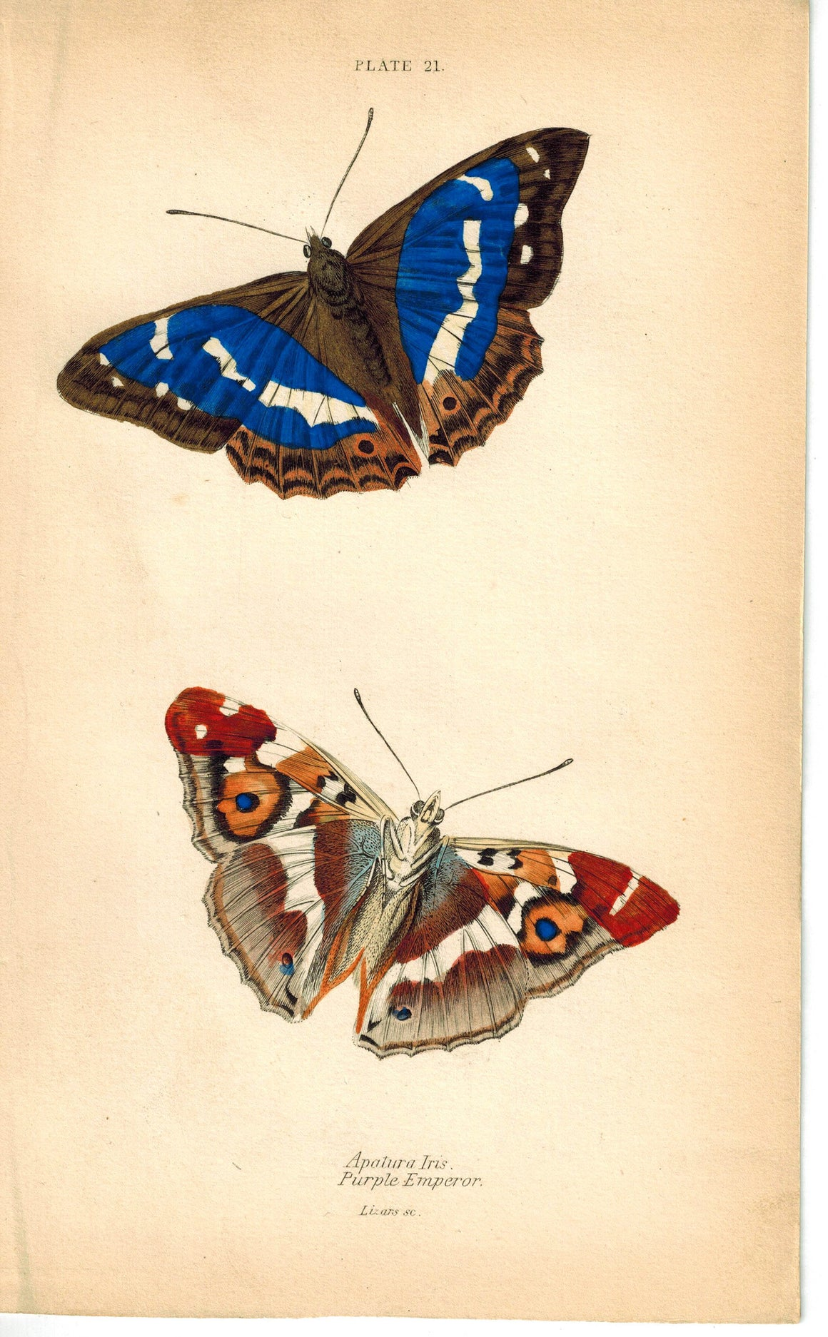 Purple Emperor Apaturo Iris Butterfly 1835 Hand Colored Jardine Duncan Print