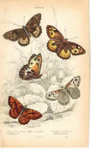 Wall and Grayling Butterfly 1835 Antique Hand Colored Jardine Duncan Print