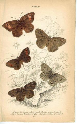 Meadow Ringlet & Mountain Butterfly 1835 Hand Colored Jardine Duncan Print