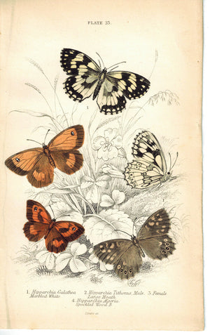 Marbled White, Large Heath Butterfly 1835 Hand Colored Jardine Duncan Print