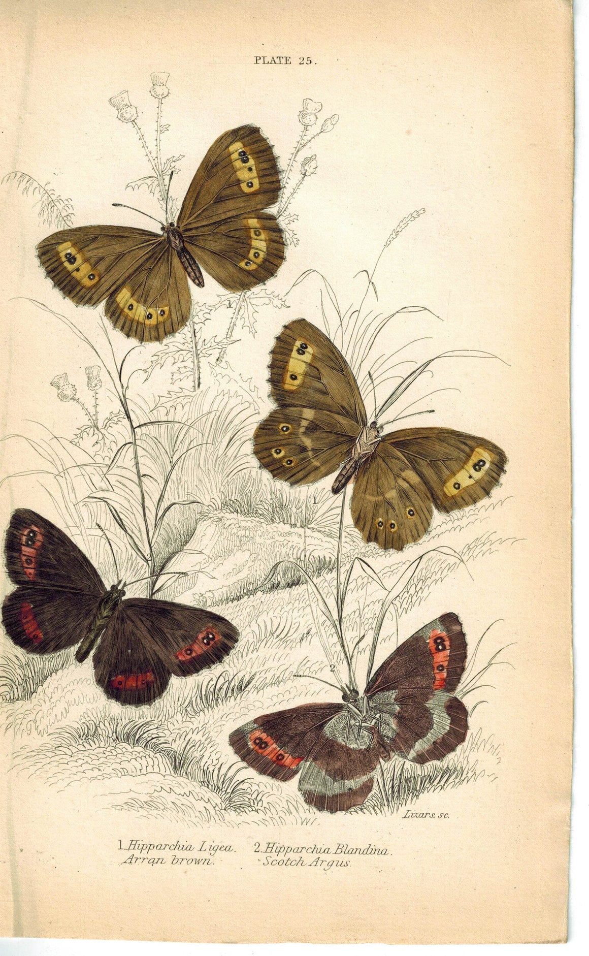 Arran Brown & Scarce Small Ringlet Butterfly 1835 Jardine Duncan Antique Print