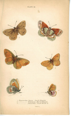 Small Ringlet, Mars &Heath Butterfly 1835 Hand Colored Jardine Duncan Print