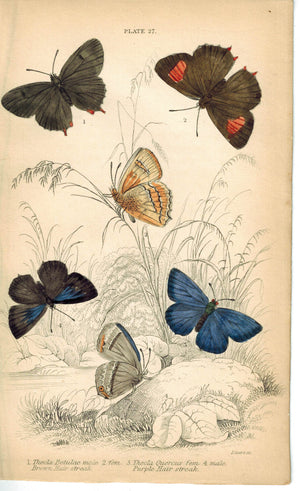 Brown & Purple Hair-Streak Butterfly 1835 Hand Colored Jardine Duncan Print