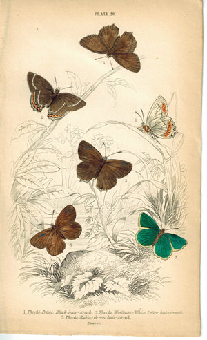 Black, White & Green Hair-Streak Butterfly 1835 Antique Jardine Duncan Print