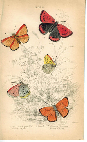 Large Scarce Copper Butterfly 1835 Hand Colored Jardine Duncan Antique Print