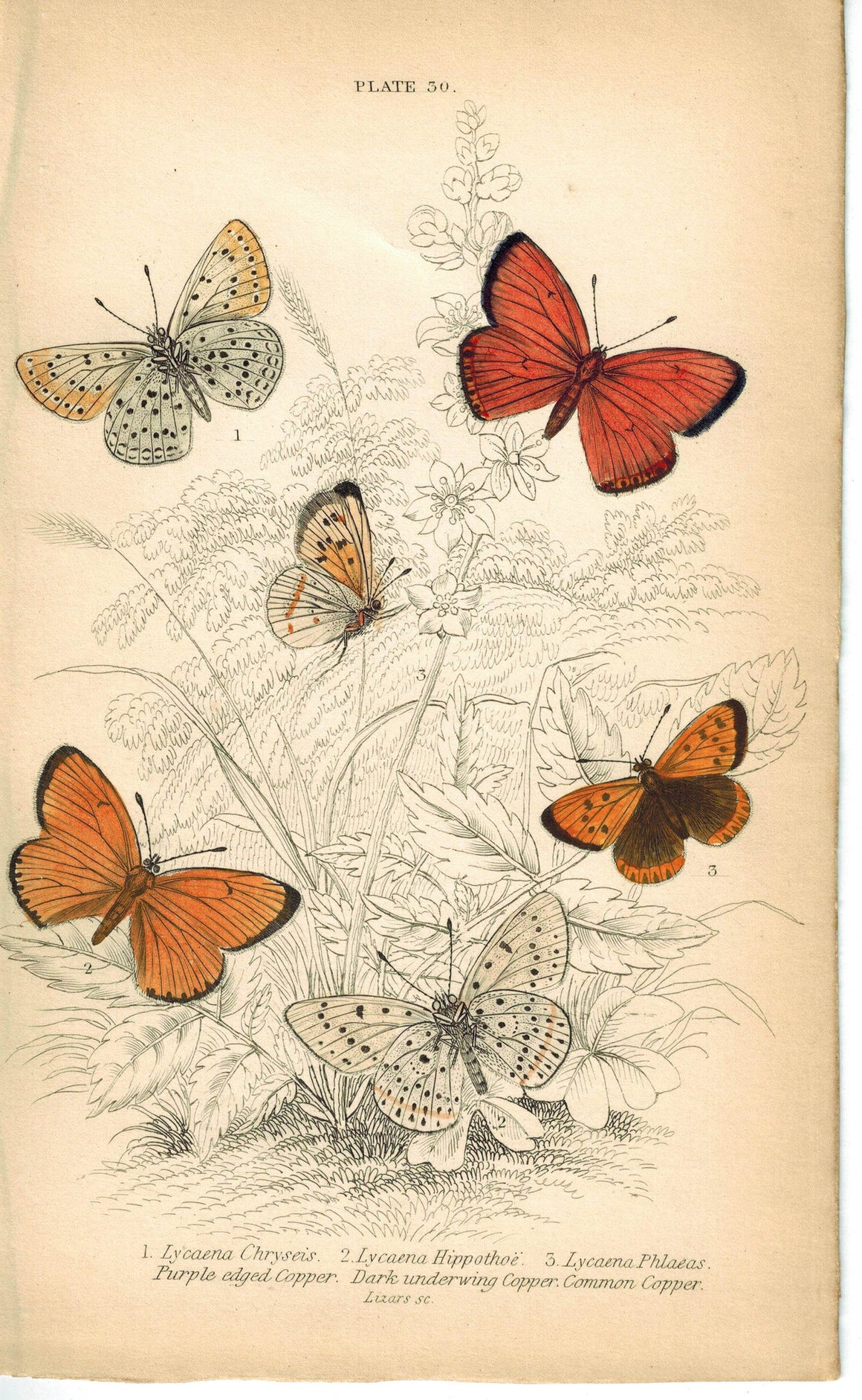 Common, Dark & Purple-edged Copper Butterfly 1835 Jardine Duncan Antique Print