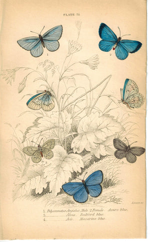 Azure, Bedford and Mazarine Blue Butterfly 1835 Jardine Duncan Antique Print