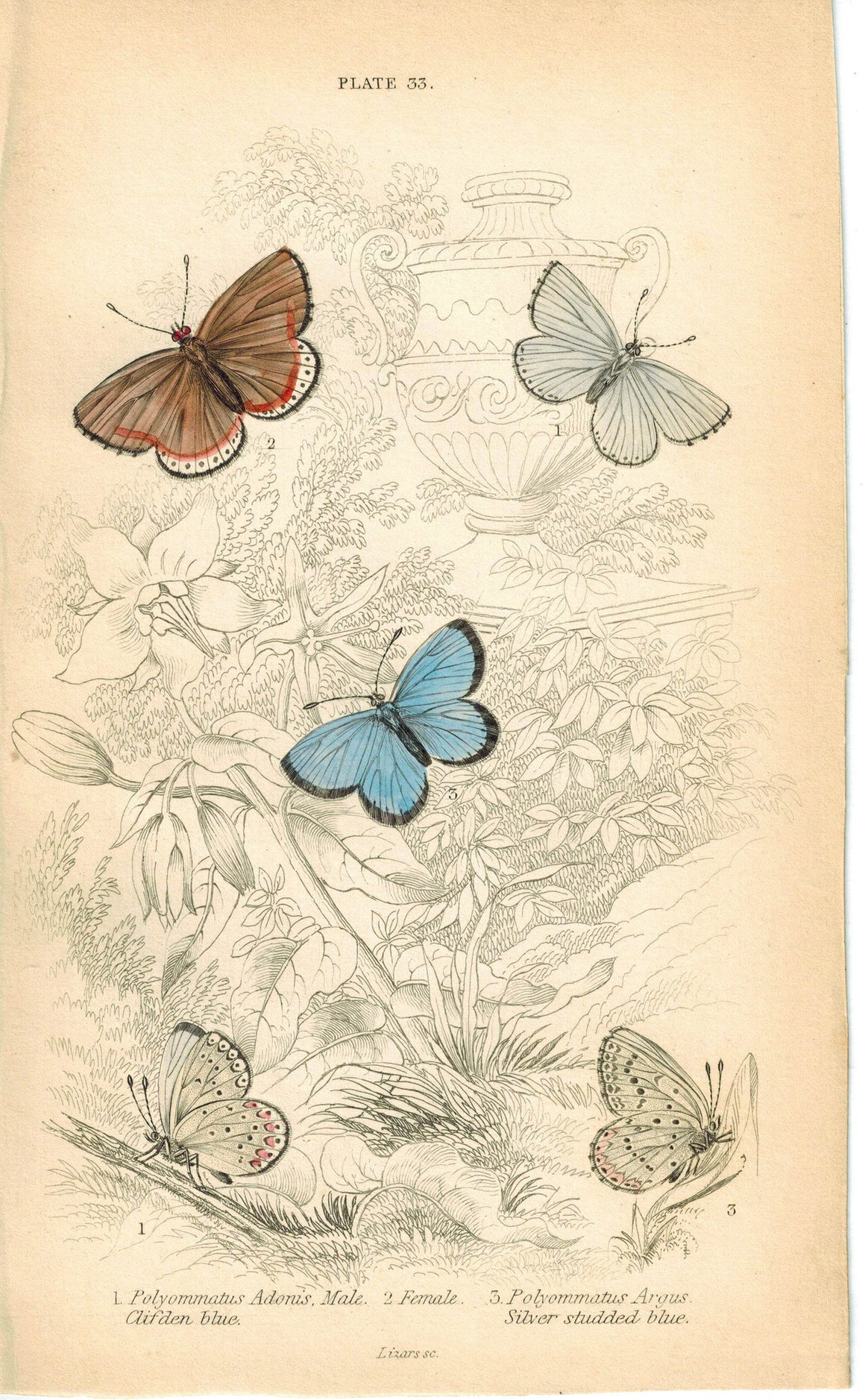 Clifden, Common and Silver Studded Butterfly 1835 Jardine Duncan Antique Print