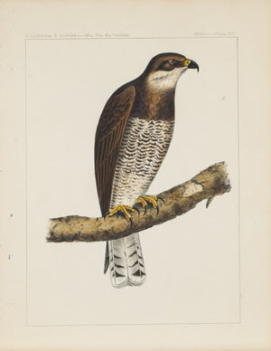 Swainson's Hawk (Buteo Swainsoni Hawk) 1859 Antique Bird Print Plate 13