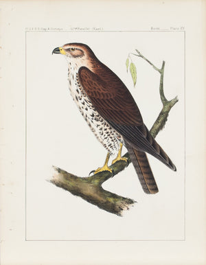 Hawk (Buteo Oxypterus) 1859 Antique Hand Colored Bird Print Plate 15